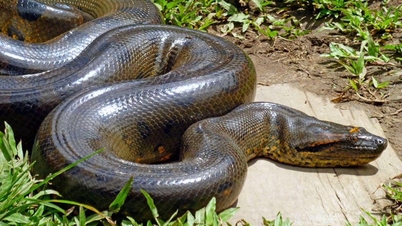 картинки толстых змей экстрасенсы даже советуют