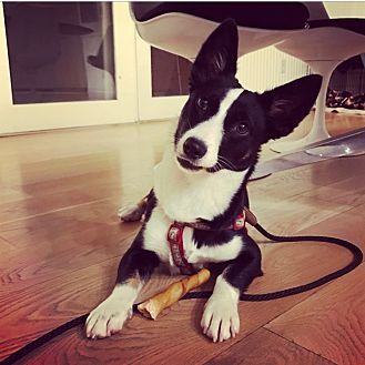 Los Angeles Ca Corgi Border Collie Mix Meet Courtesy Listing Gracie A Dog For Adoption Puppies And Kitties Kitten Adoption Smartest Dogs