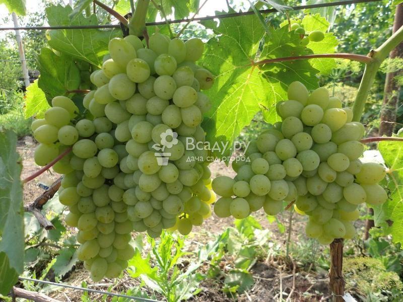Виноград-видео по выращиванию и уходу 83