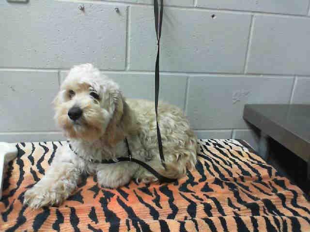 This DOG IDA478376 I am a male, blonde Poodle