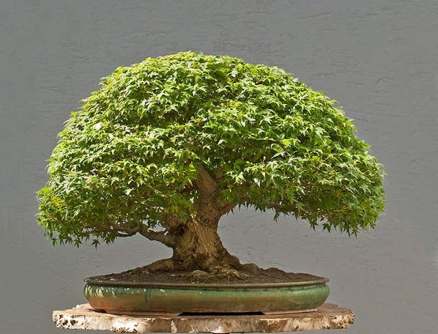 Walter Pall Bonsai Adventures Japanese Maple 10 Bonsai Tree Bonsai Trees For Sale Bonsai Tree Types