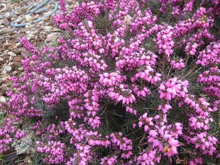 Mediterranean pink heather flowers pinterest plants shrubs mediterranean pink heather mightylinksfo