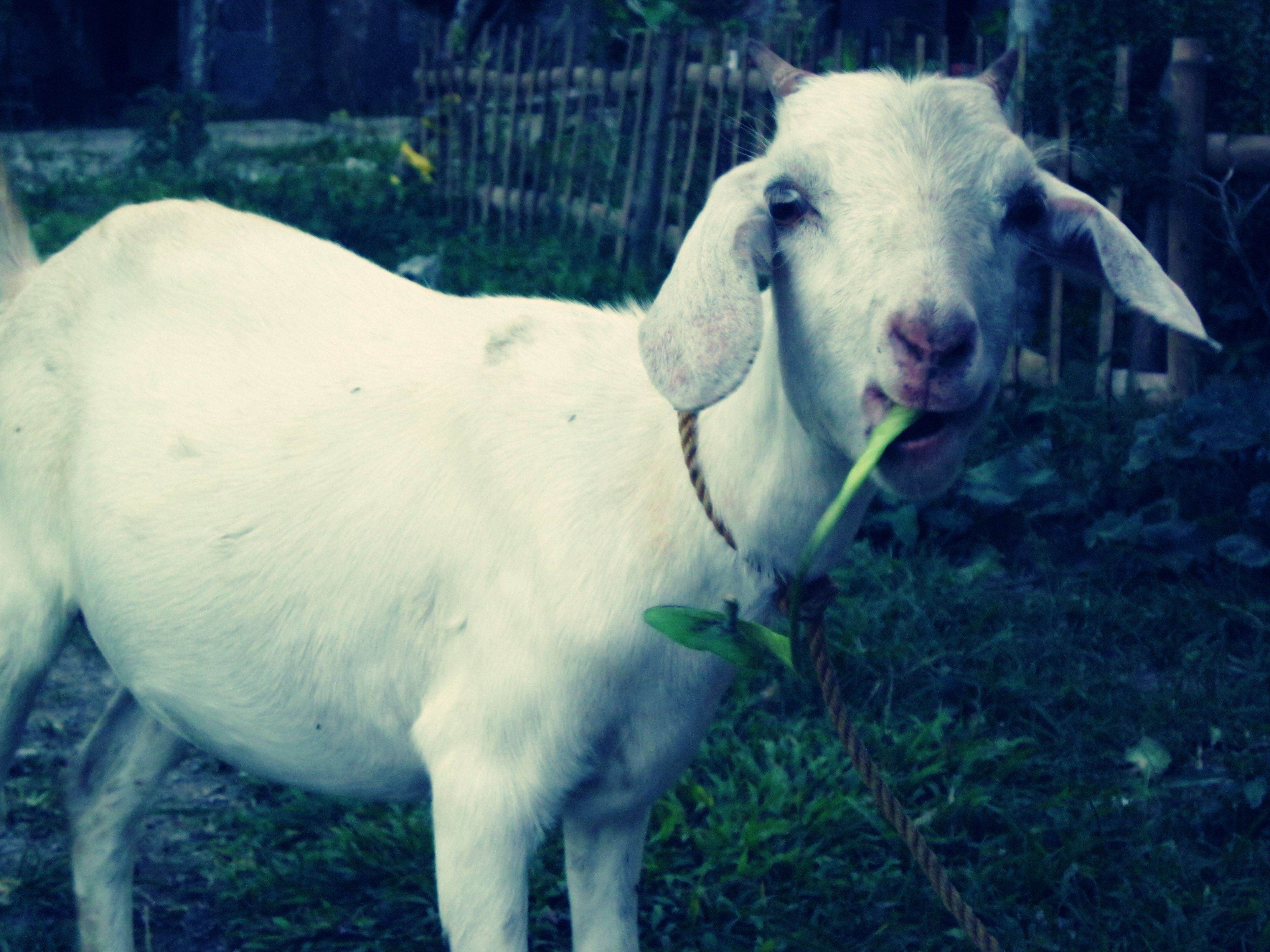 He's everywhere.  So photogenic. The goat wandering around our yard.