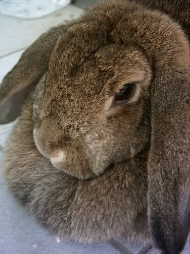 French Lop.