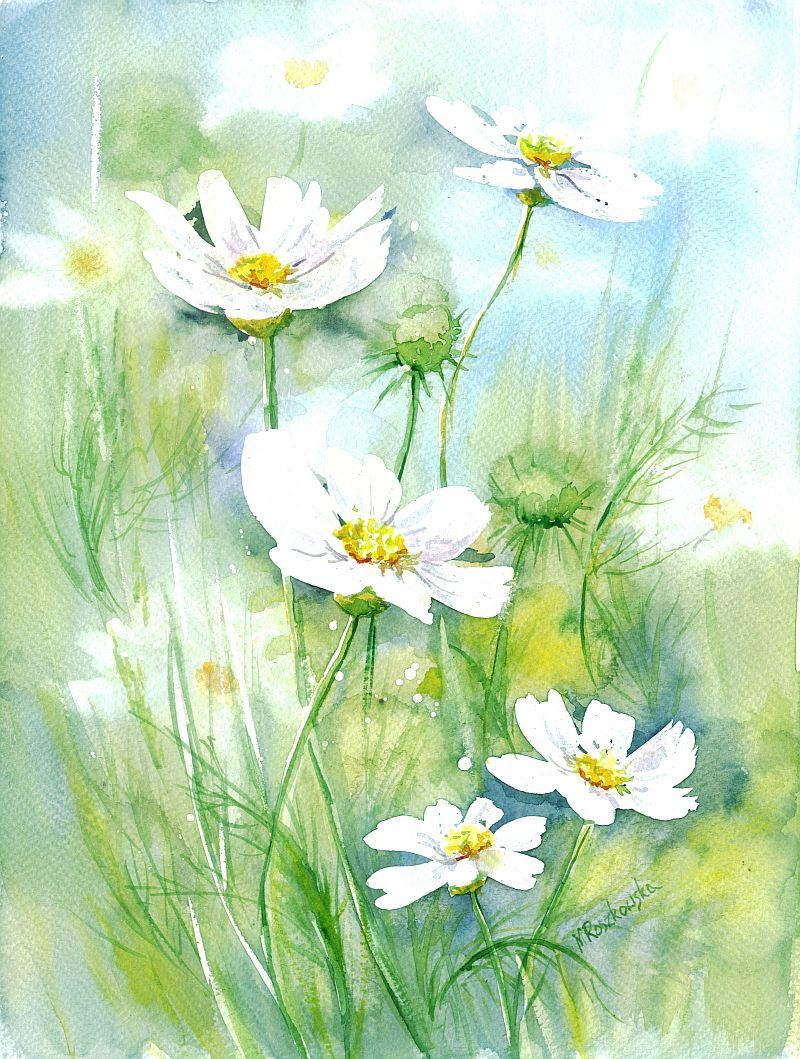 Biale Kosmosy Maria Roszkowska Watercolor Watercolor Flowers Art Painting Floral Painting