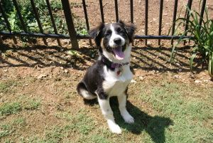 Kate is an adoptable Border Collie Dog in Alpharetta, GA. An Adoption Application for this dog can be found on our website, www.angelsrescue.org, and can be faxed or submitted online. Be sure to check...
