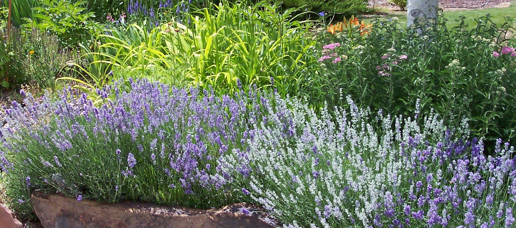 Using Lavender As A Border To Mixed Perennial Bed Perennial Garden Design Front Yard Landscaping Design Perennial Garden