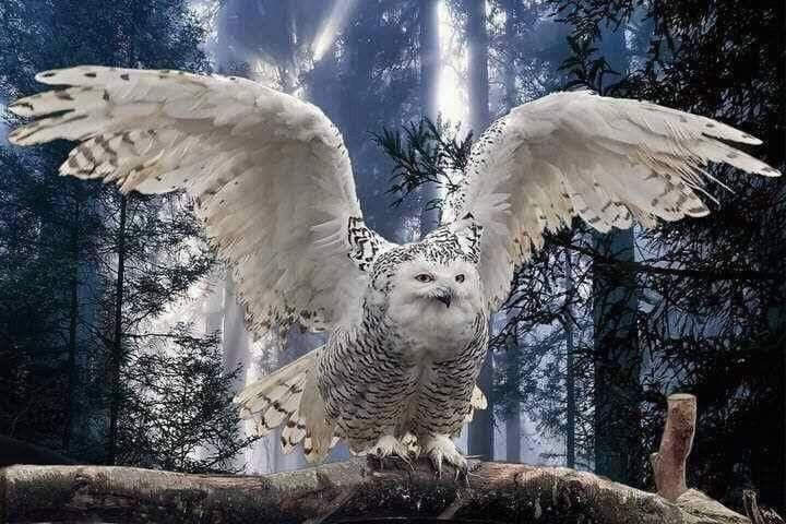 Snowy owl by Marianca du Toit on Something beautiful Owl
