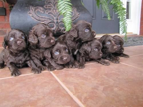 Boykin Spaniel Puppies Boykin Spaniel Puppies Cute Baby