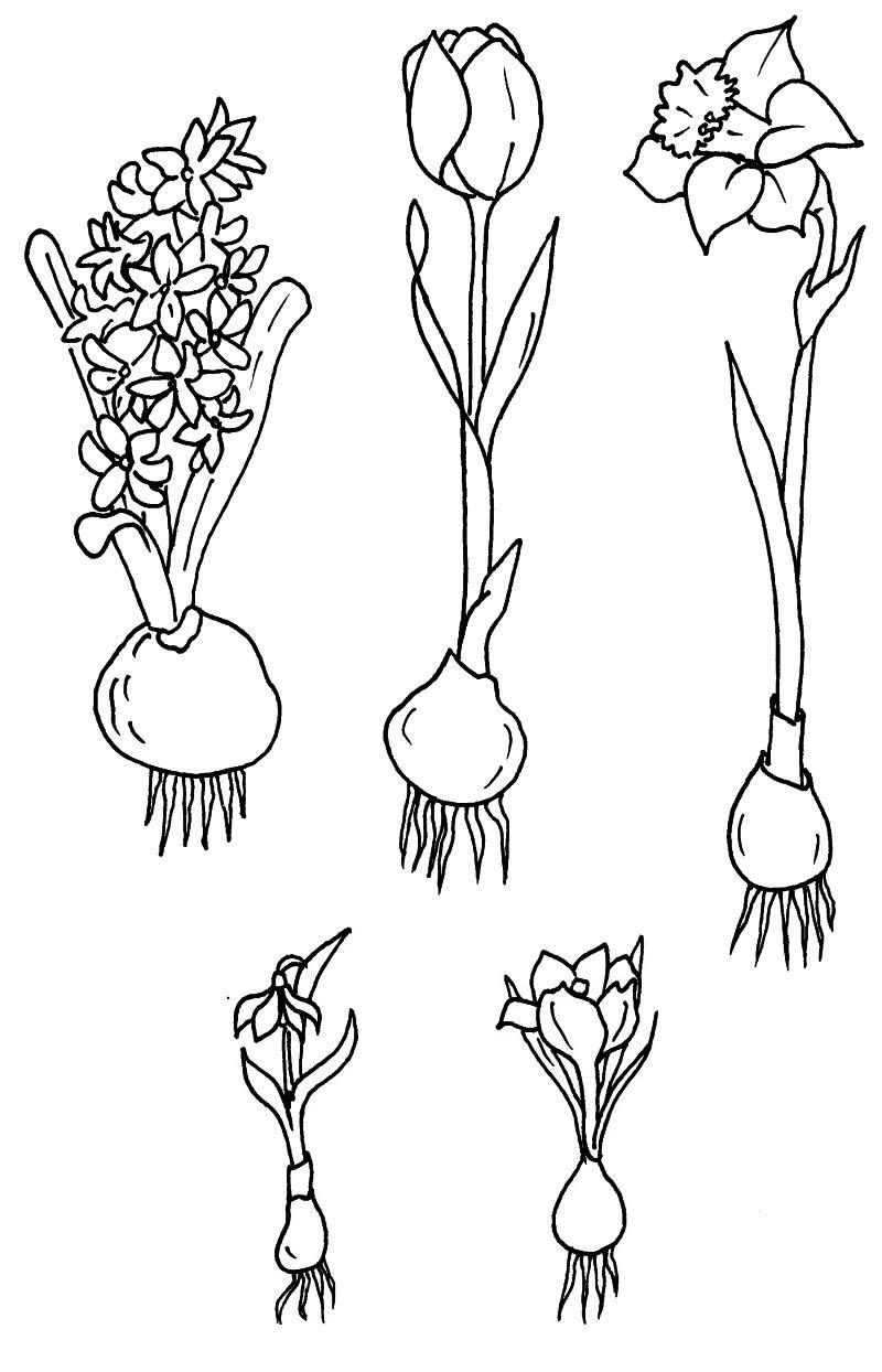 tulpe zeichnung  googlesuche  malen  co  pinterest
