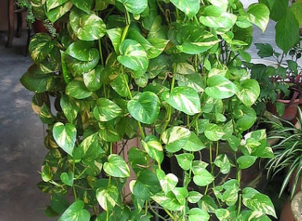 get rid of indoor pollution the natural way top 10 natural eco friendly and anti pollutant houseplants too bad most plants hate me - House Plants Vines