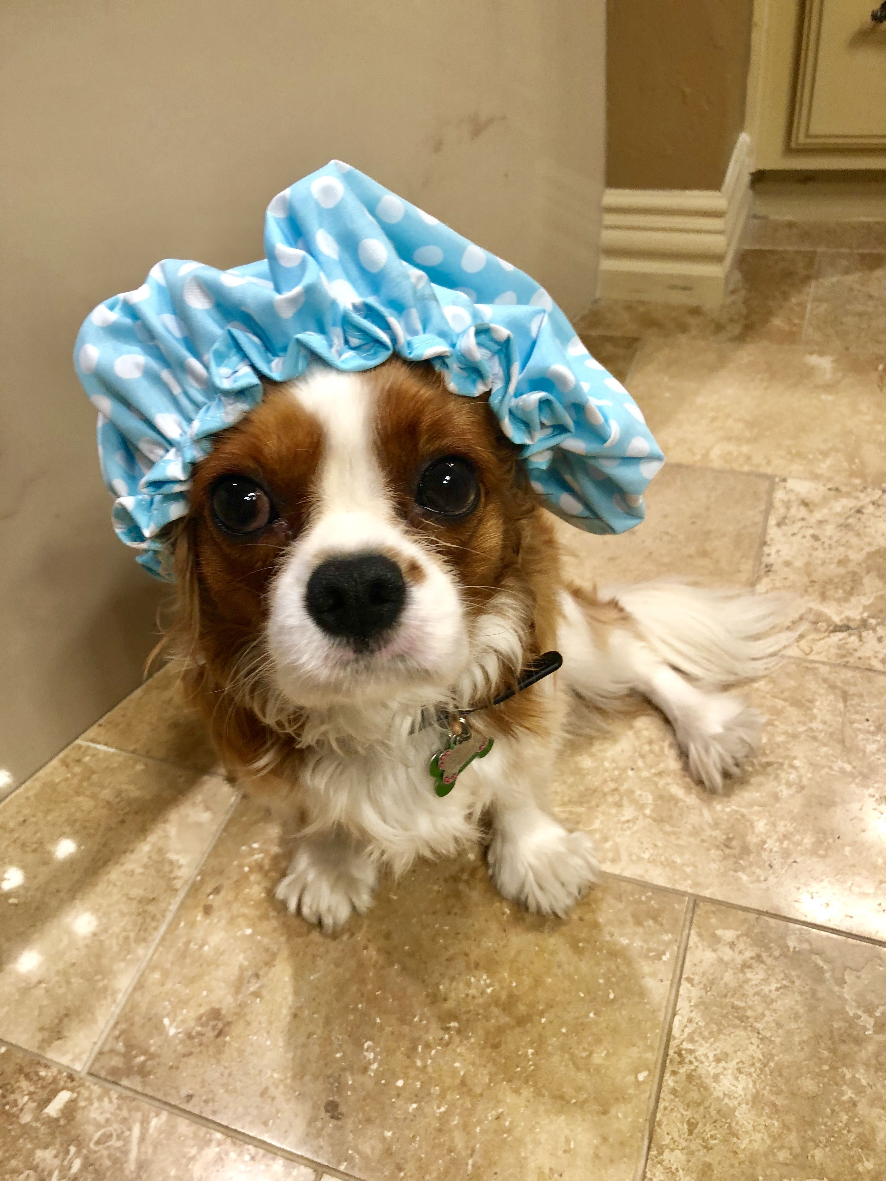 Cavalier King Charles Spaniel Is Shower Ready Cavalier King