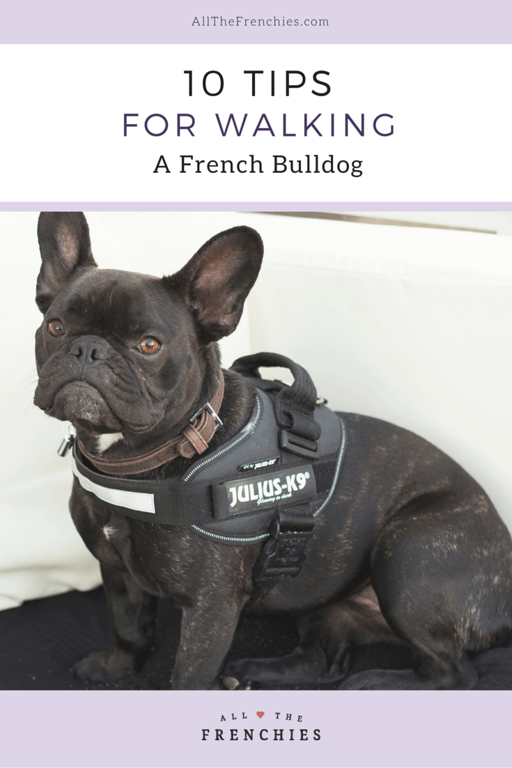 10 Tips for Walking A French Bulldog French bulldog