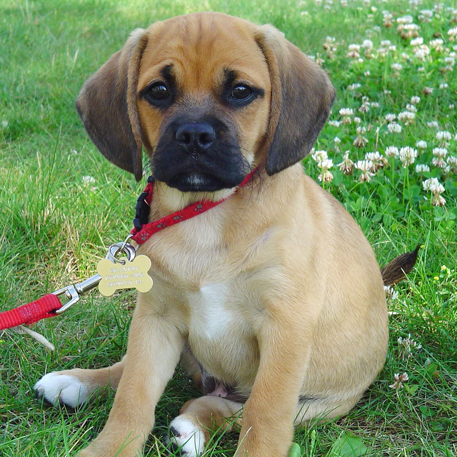 Dog Crossbreed Puggle Puppies Puggle Dogs Pug Beagle
