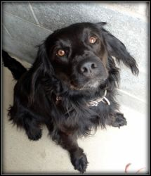 Adopt Maestro On Losing A Pet Spaniel Dog Human Species