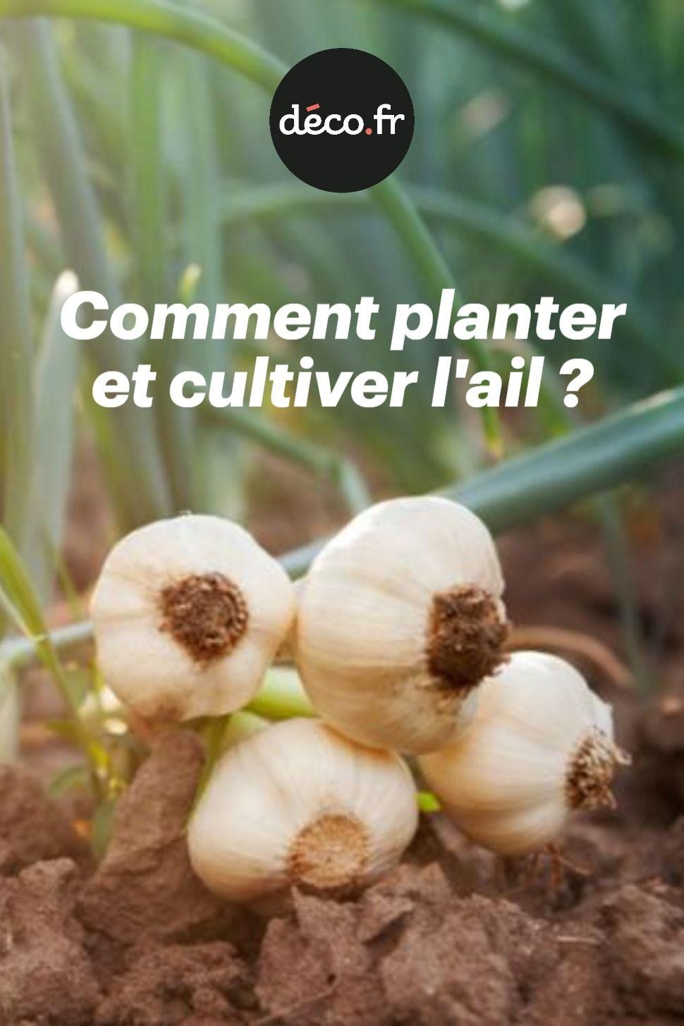 Comment Planter Le Basilic En Terre Épinglé par aurélie van de voorde sur potager en 2020