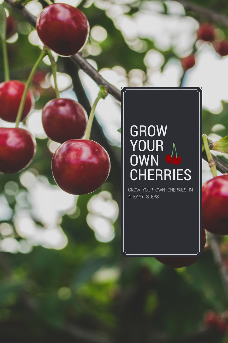 Learn How To Grow Your Own Cherry Orchard Growing Cherry Trees Fruit Trees Backyard Growing Fruit Trees