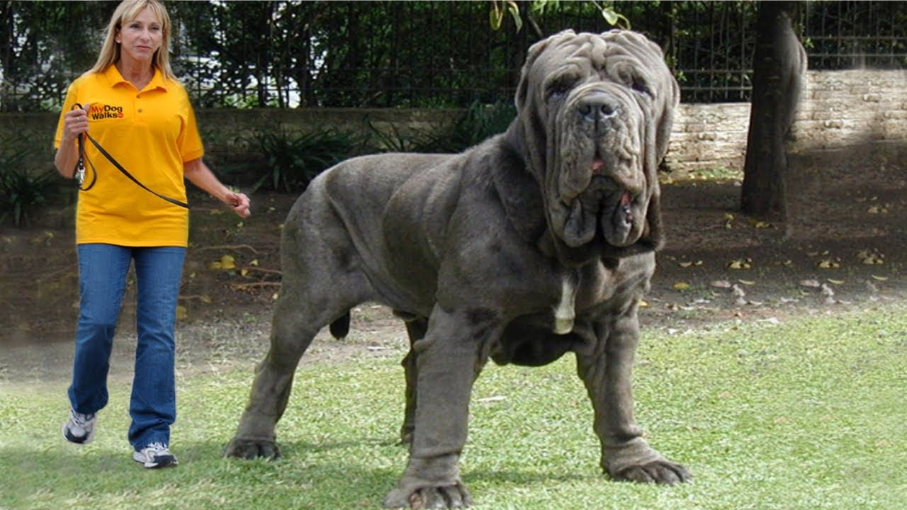 Top 10 Biggest Dogs In The World They Forgot The Tibetan Mastiff