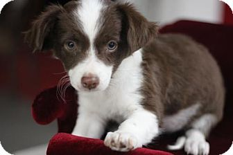 Pictures of GUMDROP a Springer Spaniel/Chihuahua Mix for