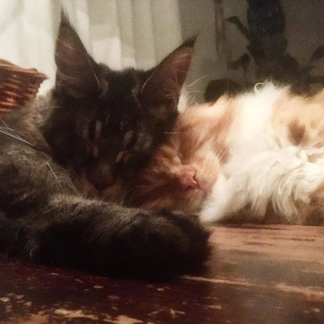 Real love  #mainecoonsofinstagram #mainecoon #mainecoonlove #mainecoonlovers #mainecoonlife #mainecooncats #mainecoonkittens #mainecoonsofig #mainecoongram #mainecoonworld #animallovers #petstagram #cutekitten #mainelynx #mainecoonfun #mainecoonstagram #mainecoon_nl #catsofinsta #catslife #catsinlove #catsofig #love #sleepy # Instagram BridgeReal love  #mainecoonsofinstagram #mainecoon #mainecoonlove #mainecoonlovers #mainecoonlife #mainecooncats...