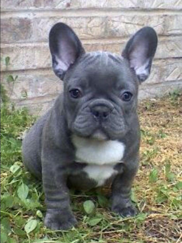 blue french bulldog puppy | bulldog puppies, cute puppies
