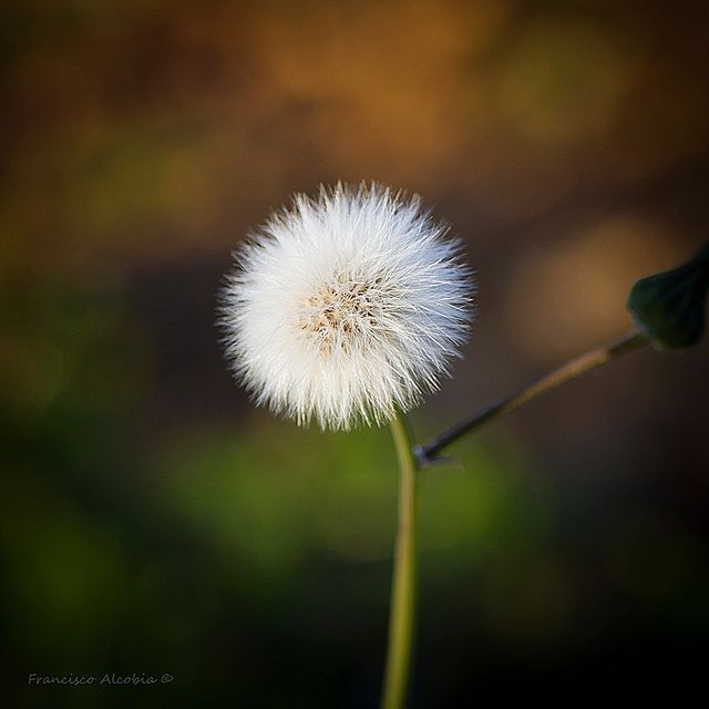 Ethereal Flower Aesthetic Flowers Dandelion