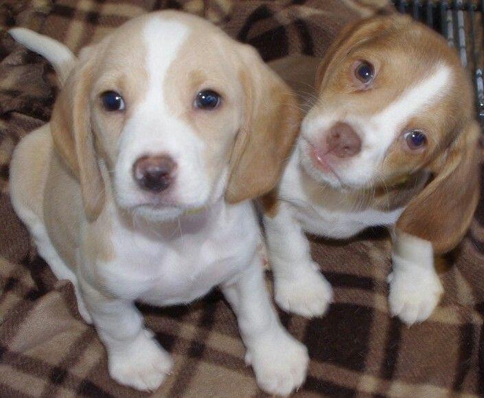 A Chocolate And A Lemon Beagle Puppy Beagle Puppy Adoptable