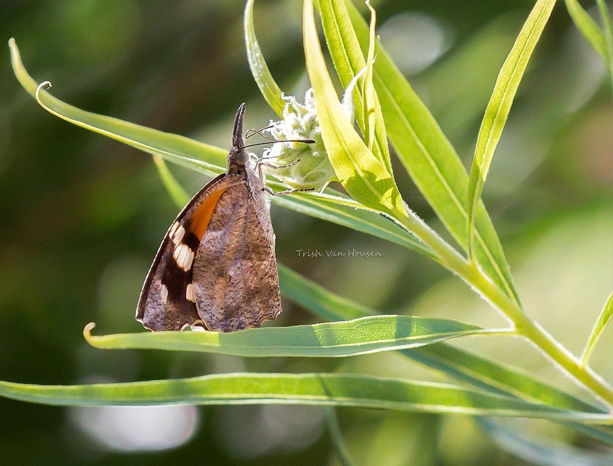 Daily Photo from Trish - American Snout Butterfly