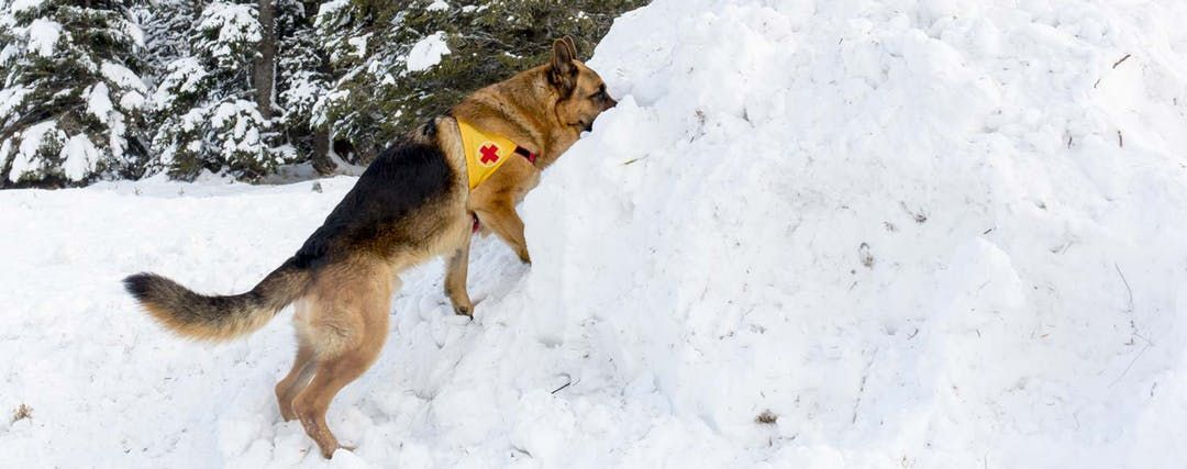 How To Train Your Dog To Search And Rescue Search Rescue Dogs