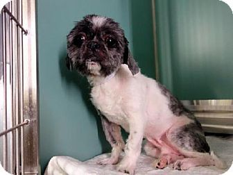 New York Ny Shih Tzu Mix Meet Scoops A Dog For Adoption