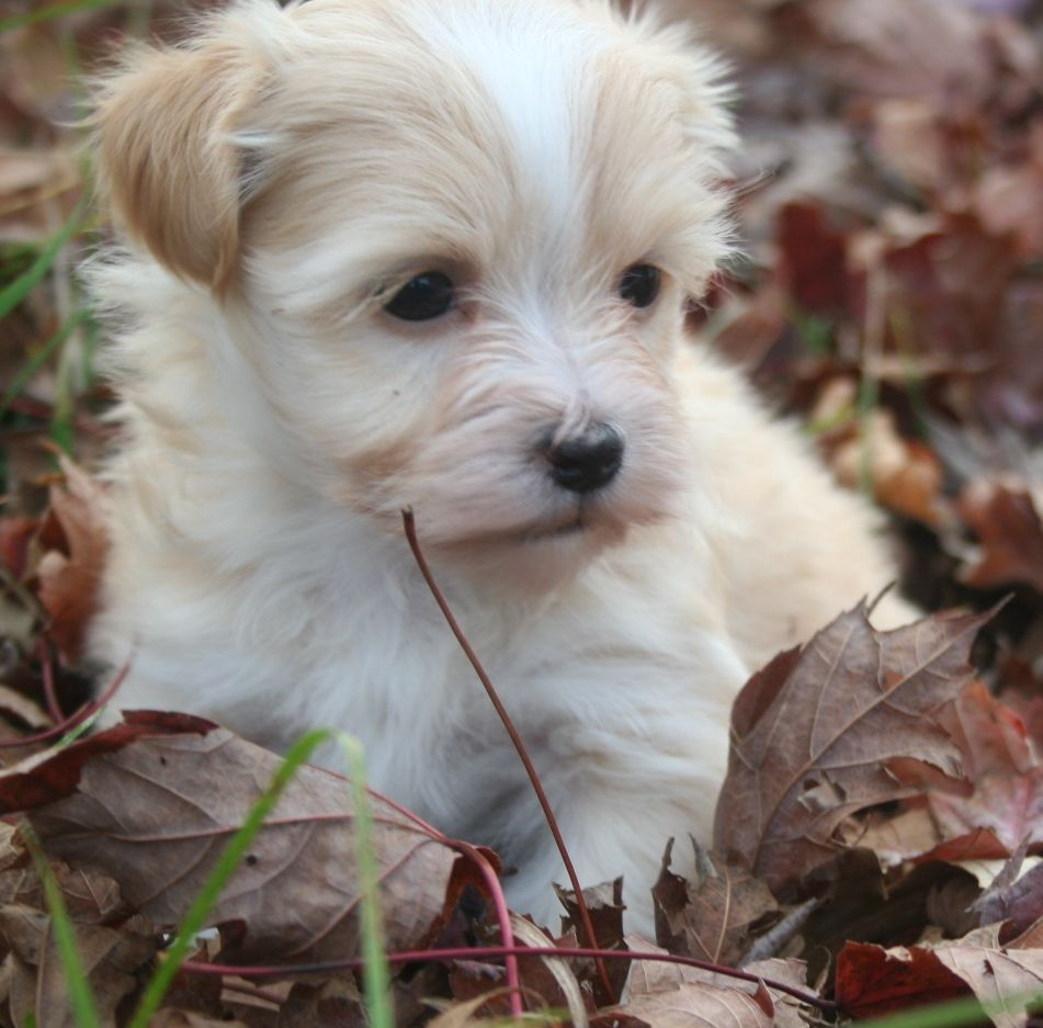 Havanese Puppies For Sale Havanese Puppy For Sale Havanese