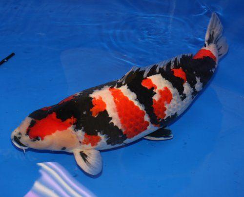 Real koi fish google search koi pinterest koi for Real koi fish