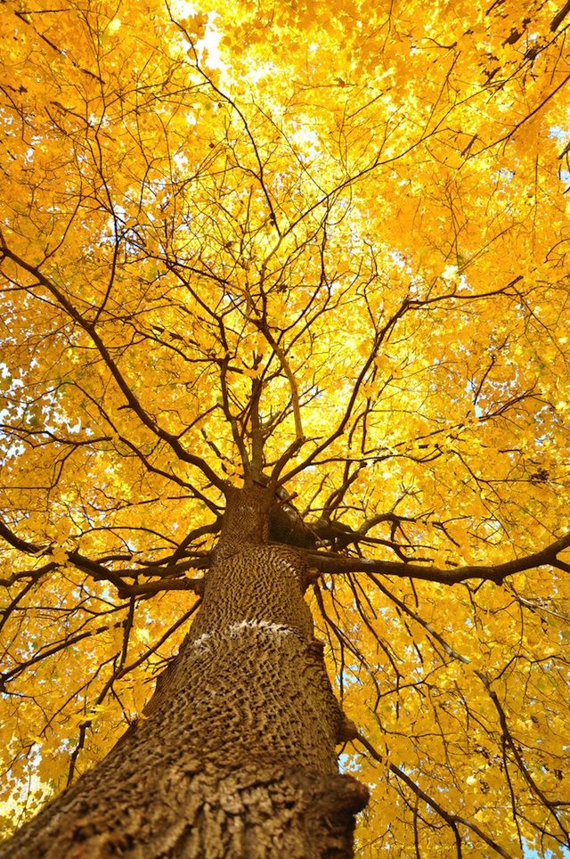 12 Fantastic Photos of Fall Trees Exploding with Color #falltrees