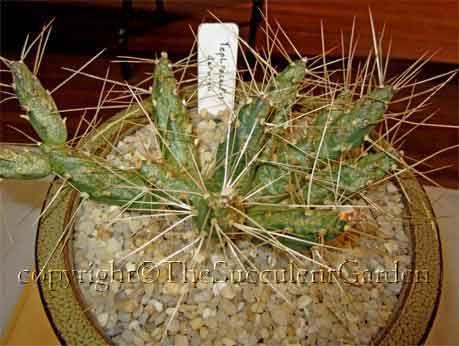 Tephrocactus Darwinii Succulent Terrarium Cacti And Succulents Planting Terrariums Online Nursery