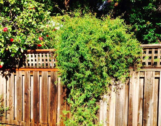 13 Best Evergreen Climbers Evergreen Vines Evergreen