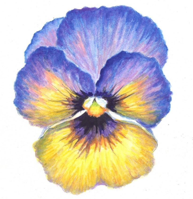 Akimova Pansy Flower Watercolor And Pencils Garden 5 75 X6 Realism Original Watercolor Painting Flower Painting Watercolor Flowers