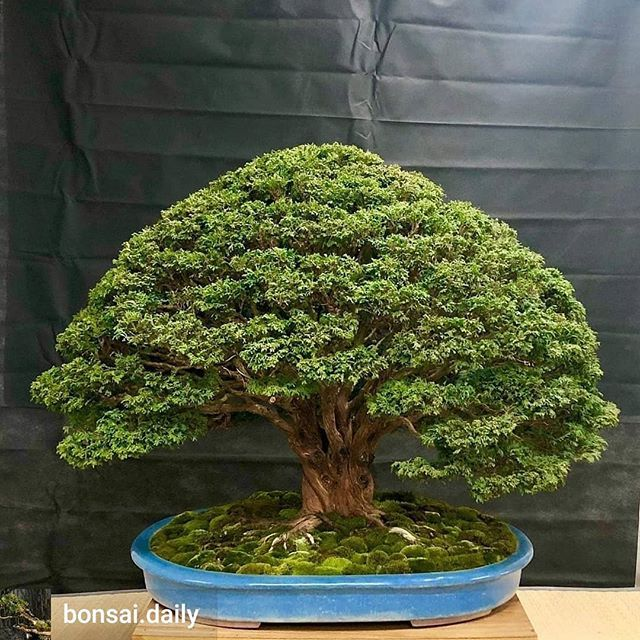 BONSAI CERAMIC TATTOO ART Bonsai soil, Bonsai trees