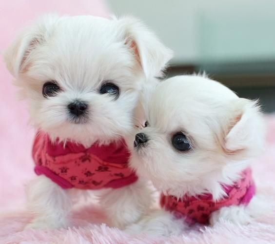 Image Detail for male and female Maltese puppies for