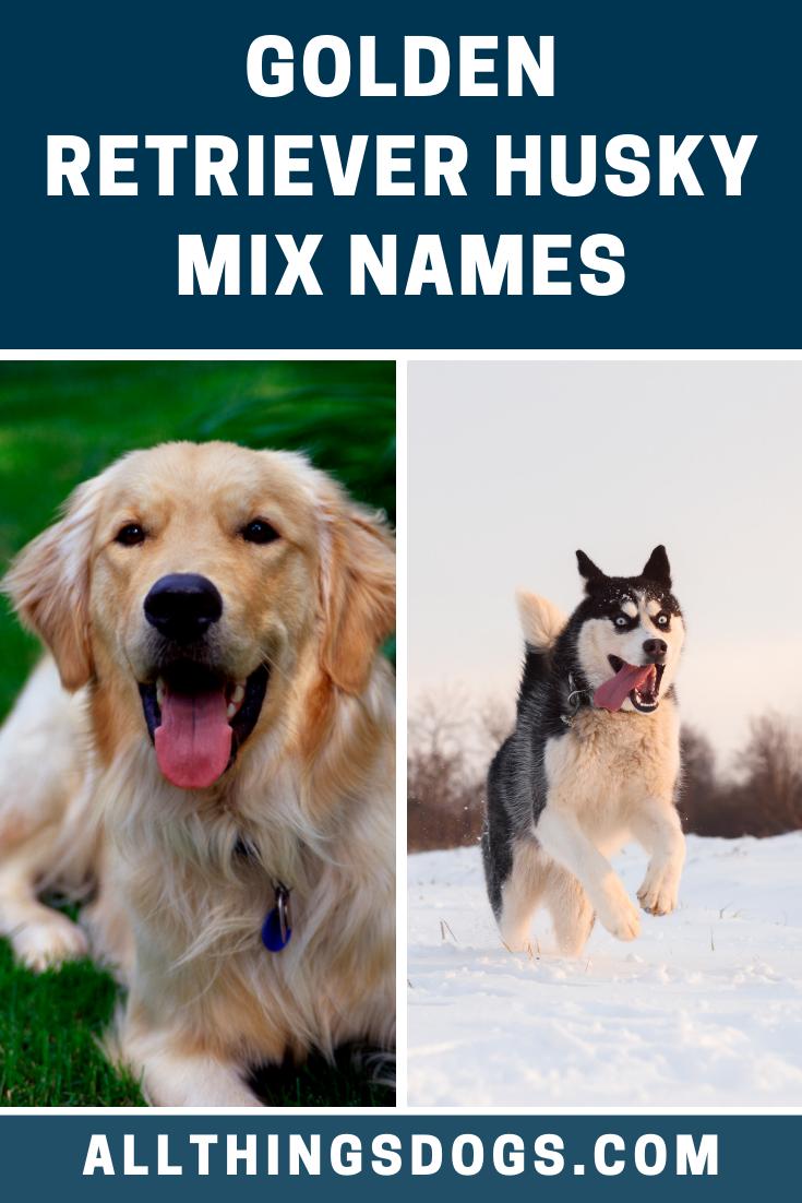 Golden Retriever Husky Mix Names Husky Golden Retriever Husky Husky Mix