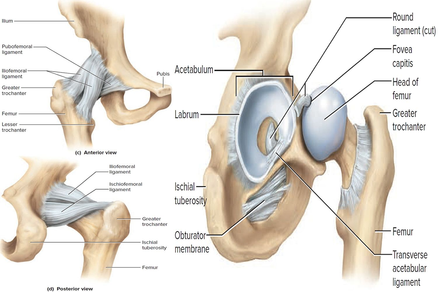 Hip Joint Sistema Articular Pinterest Synovial Joint Body