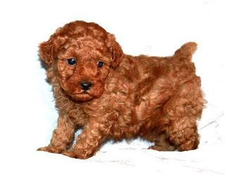 Miniature And Toy Poodles For Apartment Living Toy Poodle