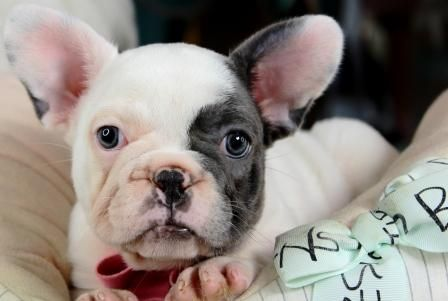 Miniature French Bulldog Puppies For Sale We Ship Very Safe