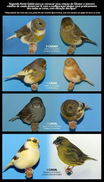 Kombinaties Canary Birds Beautiful Birds Bird Cages