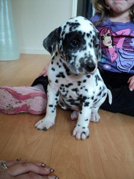Dalmatian Dogs Dalmatian Puppies For Sale Perth Dalmatian
