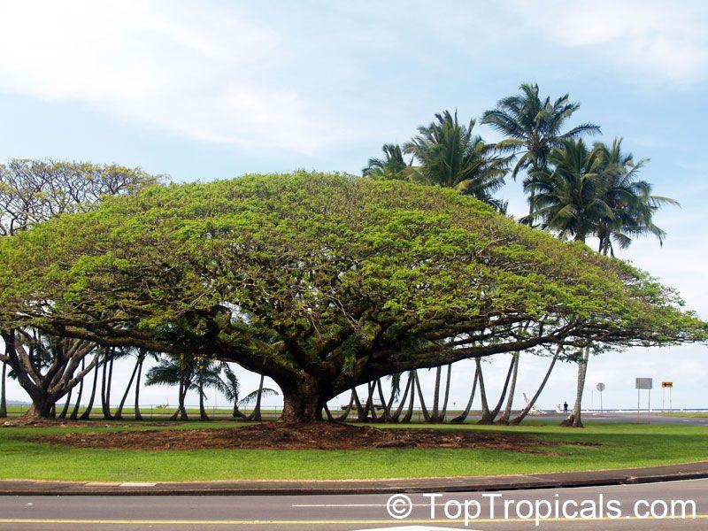 Monkeypod Rain Tree Stunning shade tree with large dome-shaped canopy - & Monkeypod Rain Tree Stunning shade tree with large dome-shaped ...