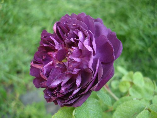 blog di Sara: Febbraio è il mese per...le talee di rosa!!!