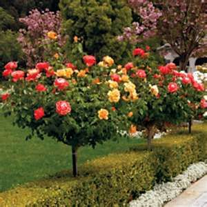 Rose Livin Easy And Easy Going 24 Inch Blended Beauty Tree Rose Shade Perennials Beautiful Flowers Garden Rose Trees