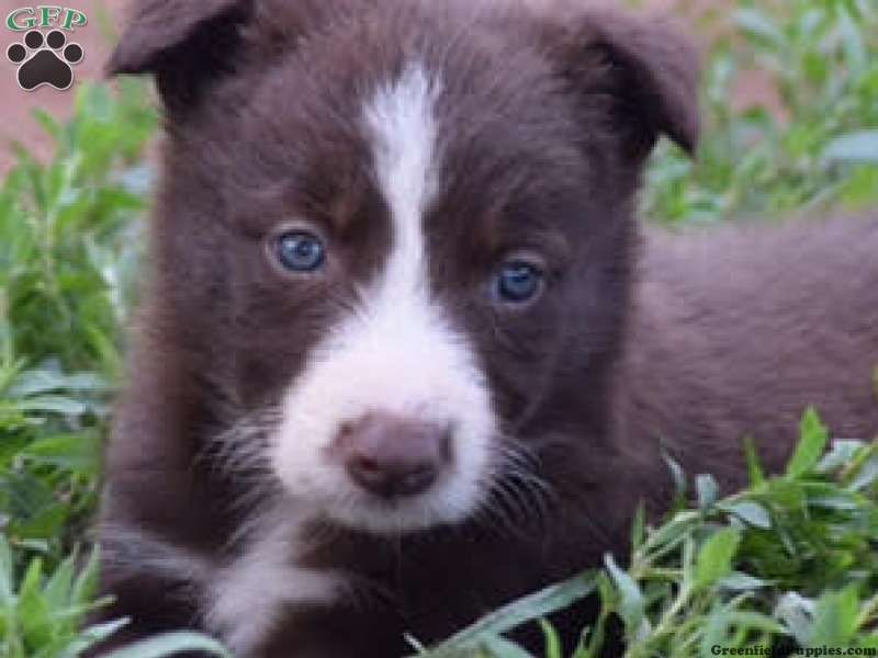 Axel Border Collie Puppy For Sale In Pennsylvania Collie