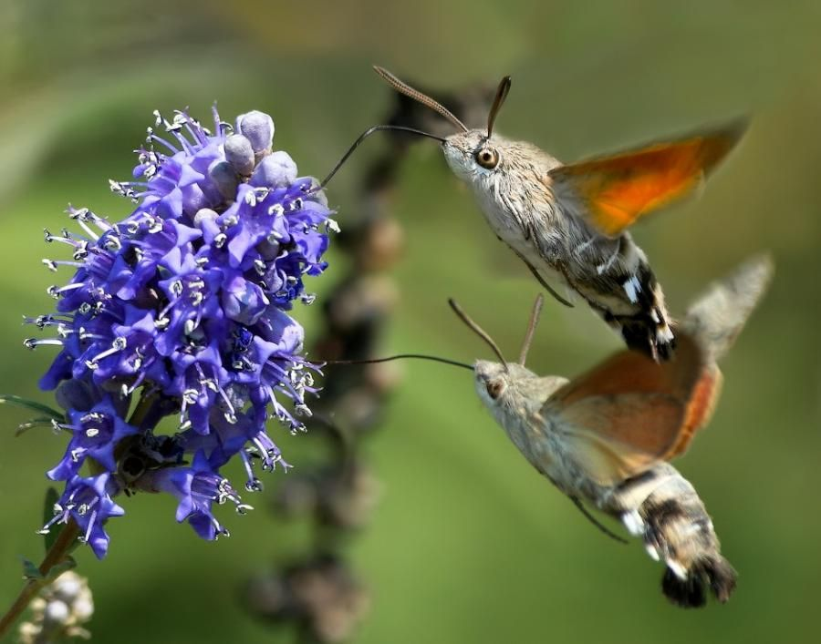 Hummingbird Moths Have These At My House They Love The Butterfly Bushes God 39 S Menagerie