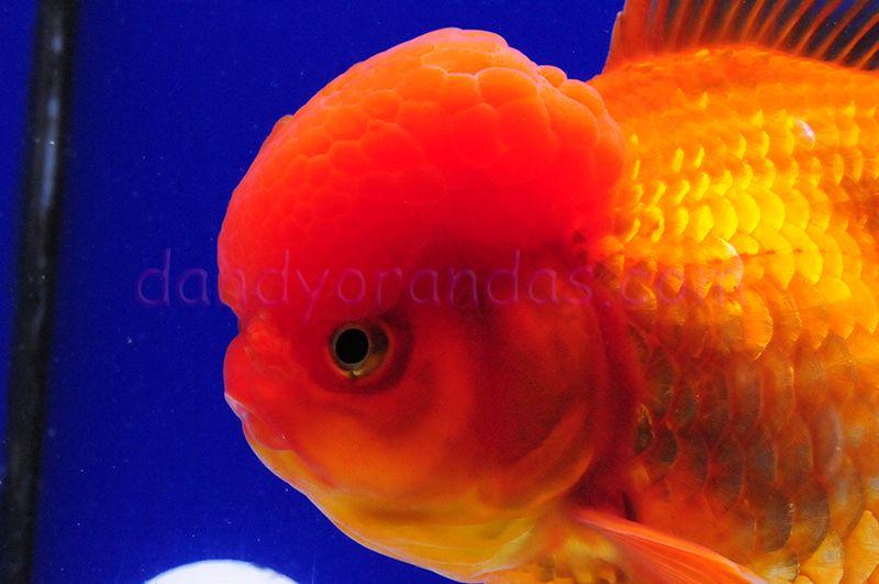 My Big Girl Oranda Fish Pet Goldfish Koi